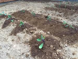 ミニトマトとナスを植えました